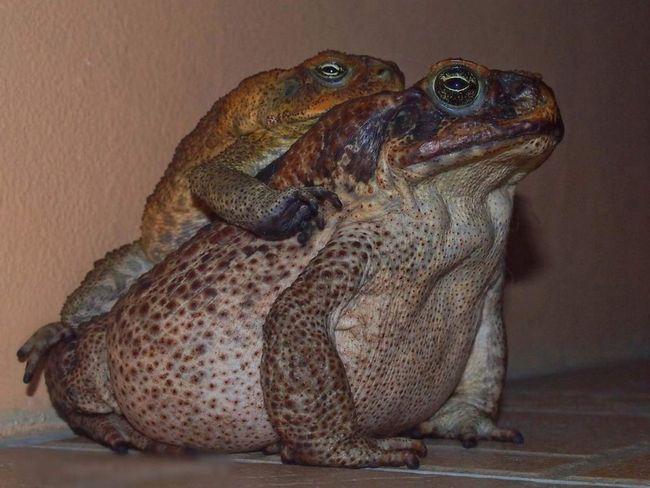Odraslih žaba-aga nije briga za potomstvo.