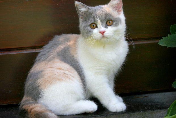 Kukavica mačka