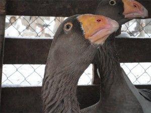 Тульская порода гусей