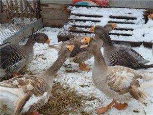 Тульская порода гусей фото
