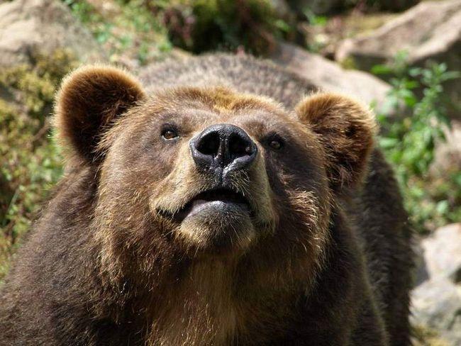 Na Kamčatki medvjed napao kamp turista.