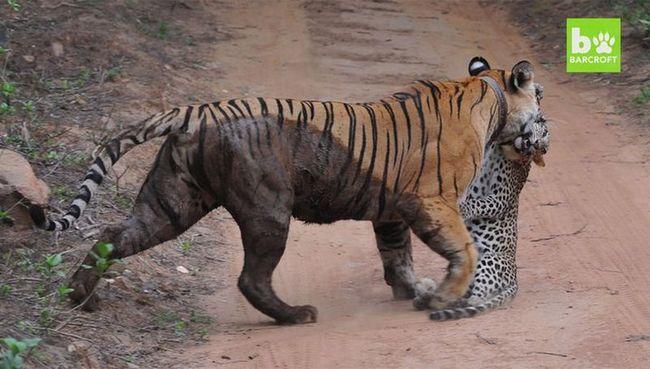 Туристы сняли на видео смертельную схватку тигрицы и леопарда