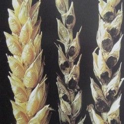 Bunt pšenice
