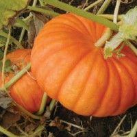 Pumpkin kao kultura