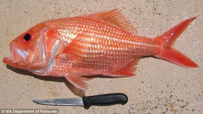 Obale od najstarijih riba u Australiji uhvaćen u svijetu
