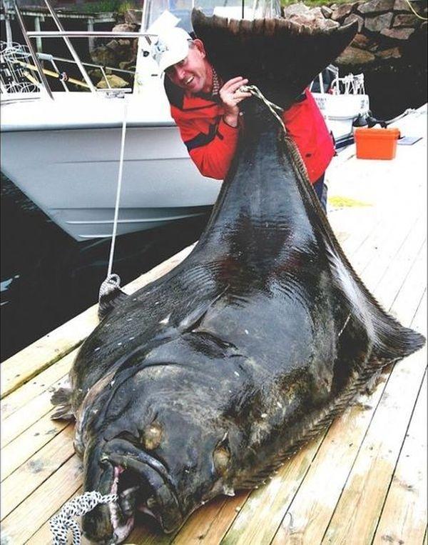 Obale sjeverne Norveške uhvaćen Atlantic iverak težine 241 kilograma