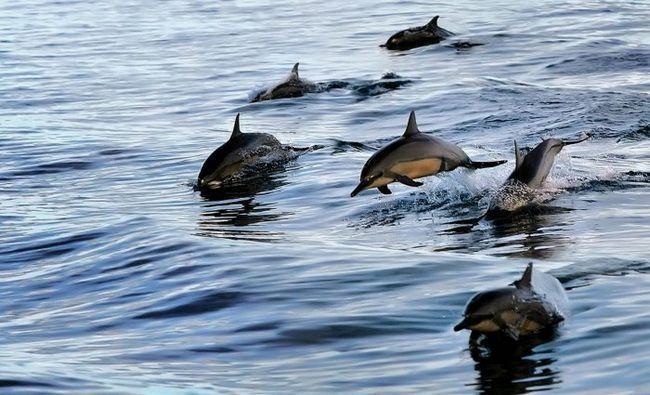 У дельфинов и рукокрылых обнаружен общий эхолокационный белок