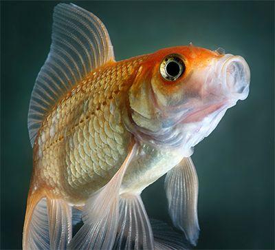 Золотая рыбка C. auratus