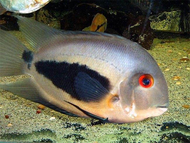 Содержание и размножение в аквариуме уару чернопятнистого