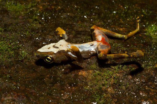 Тропическая лягушка, «съеденная» Batrachochytrium dendrobatidis- видна белая грибная плесень, покрывающая кожу.
