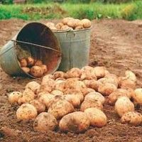 Kombajni za krompir