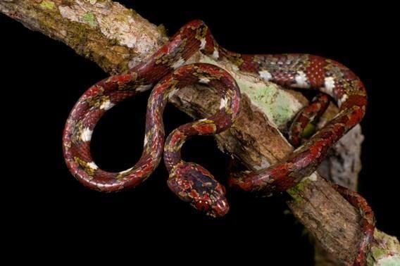 Змея из рода Sibon, питающаяся улитками