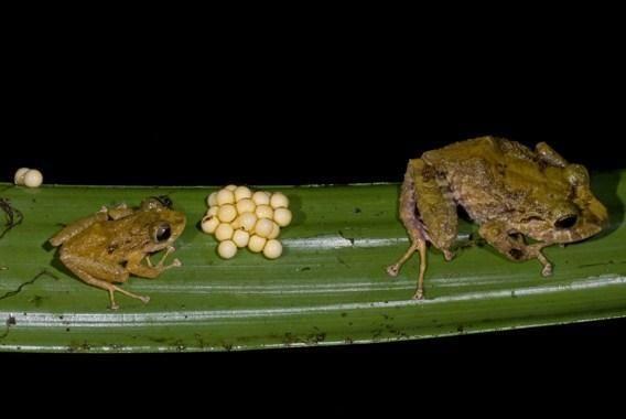 Неизвестная науке лягушка из рода Pristimantis
