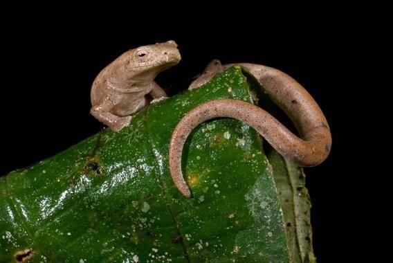Саламанда из рода Bolitoglossa, лишенная легких и дышащая через кожу
