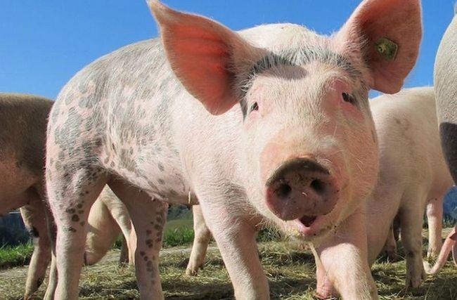 Naučnici su otkrili da svinje su pametniji psi