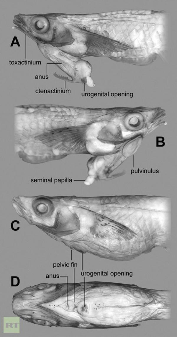 Naučnici su otkrili ribe sa penisom na glavi