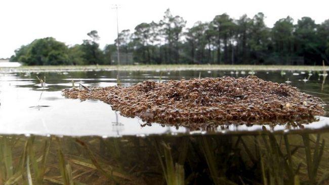 Ученые обнаружили специализацию у муравьев-сплавщиков