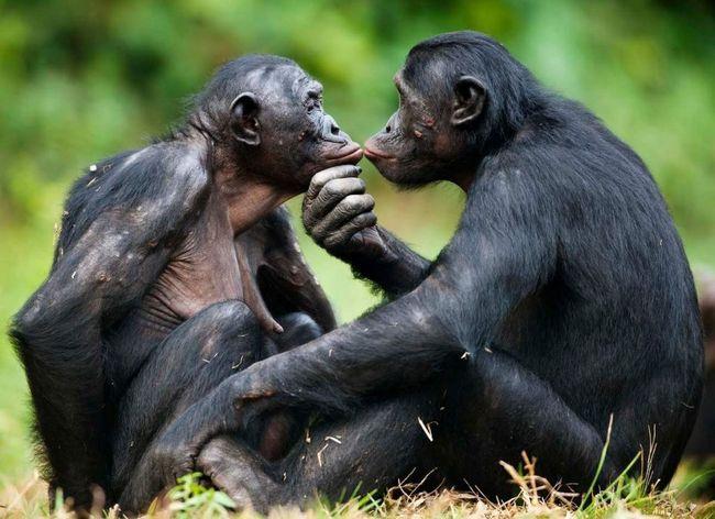 Komunikacija bonobo - fazi prelaska na ljudski govor.