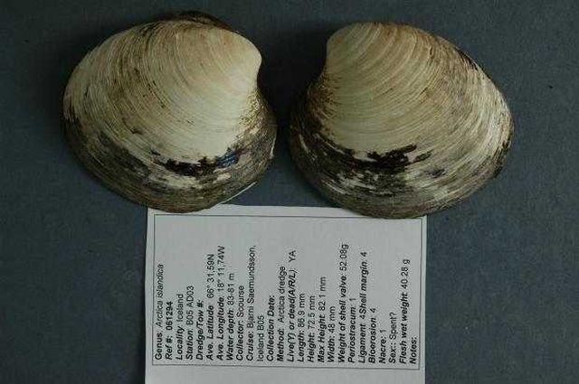 Ученые, ранее заявившие об обнаружении 405-летнего моллюска, поспешили с выводами