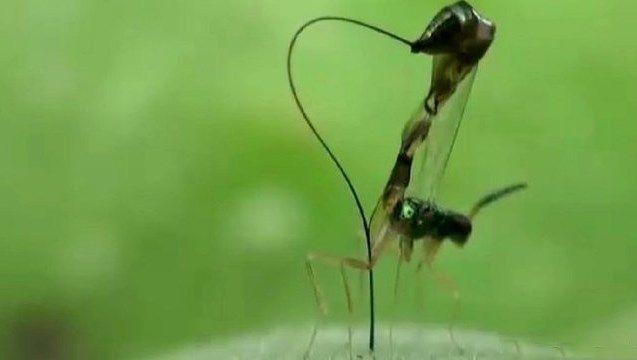 Ученые разглядели у ос-паразитов крошечную цинковую пилу