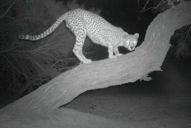 Ученые сделали фото редчайшей африканской кошки