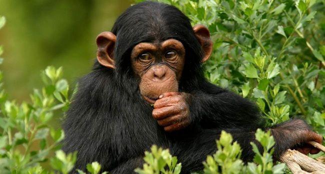 Čimpanze pojavio religije.