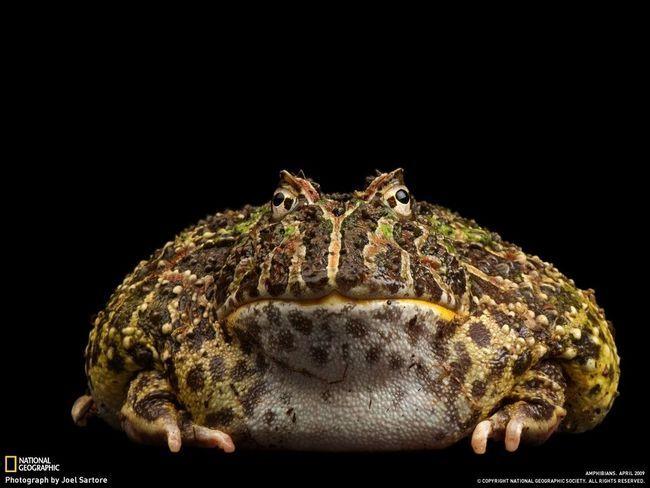 Jedan od najvećih svjetskih žabe, a osim toga, čak i otrovan - Bufo Marinus, ili jednostavno aga