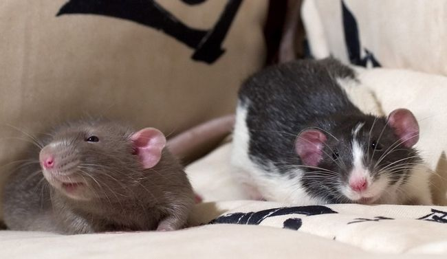 Ухаживающие друг за другом крыски счасливы, и вы должны принимать как комплимент