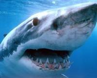 Naučnici-ichthyologists su otkrili posebno napada ajkula