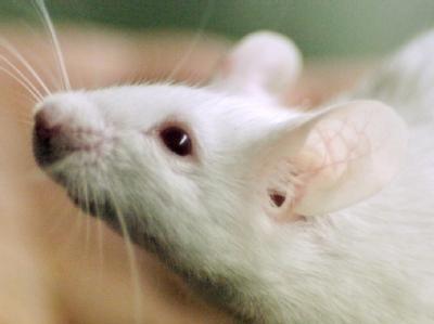 Учёные обнаружили у мышей ген отвечающий одновременно за цвет и ум