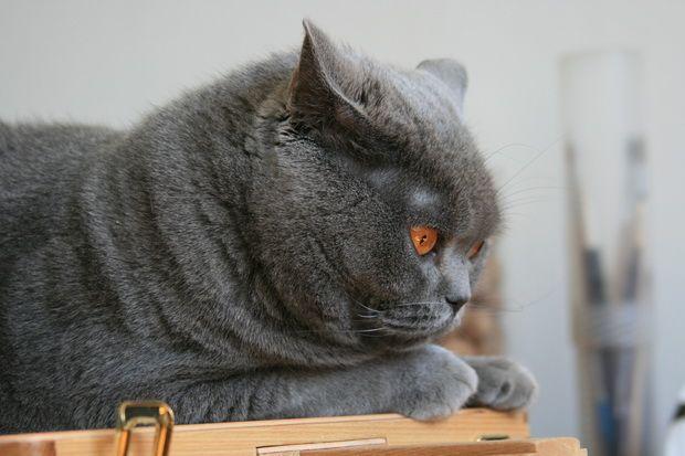 Удаление когтей у кошек, или операция «мягкие лапки»