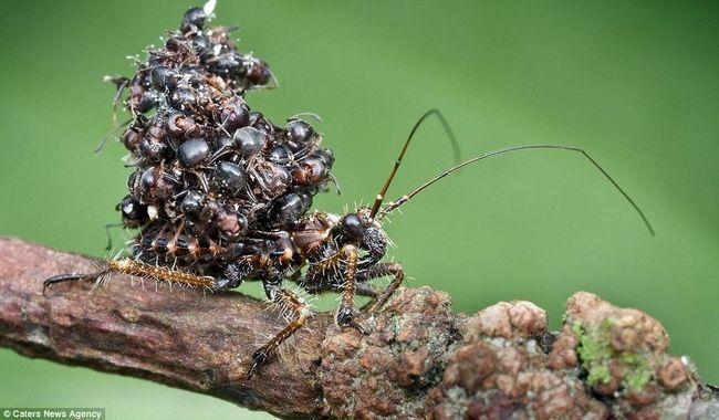 Удивительная стратегия маскировки жука-убийцы