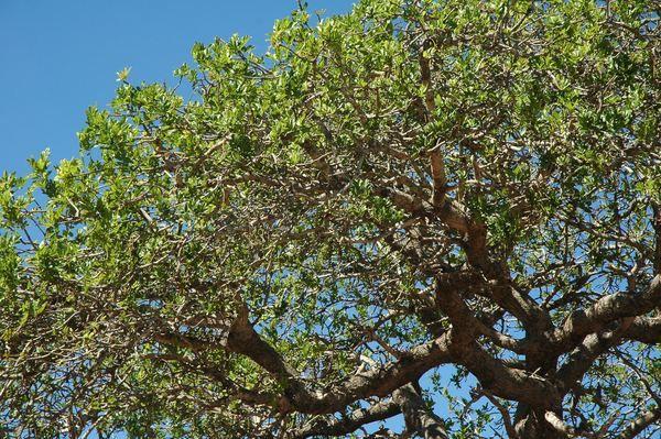 Удивительное дерево марула (лат. Sclerocarya birrea)