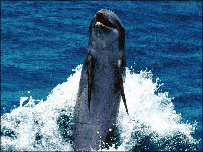 Dolphins - jedan od najneverovatnijih i inteligentna bića na našoj planeti.