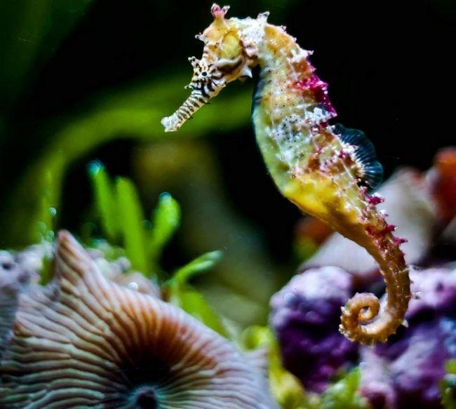 Morski konjic - divan stvaranje podvodnog svijeta.