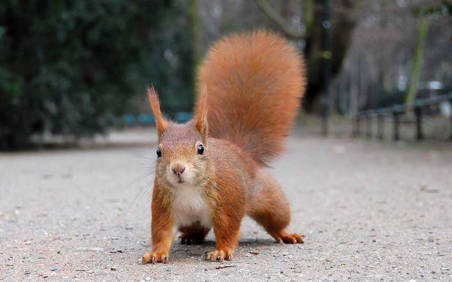 Uši kićanke i pahuljasto rep: veverica - manekenka iz prirode.