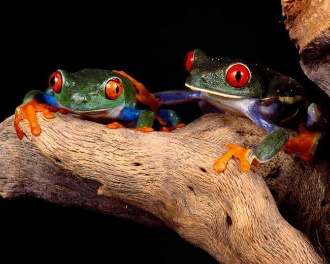 Svijetle boje napravila ove žabe prijatelji zauvijek.