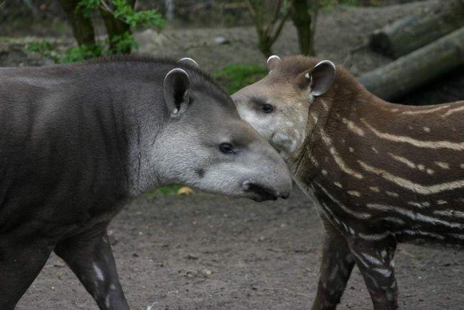 Tapirs - neobične i rijetke stvorenja.
