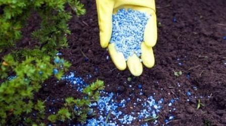 Care, gnojiva i gnojidbu u proljeće i ljeto ruža
