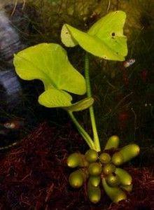 Уход за аквариумными растениями