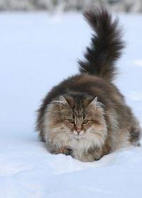 уход за шерстью норвежской кошки