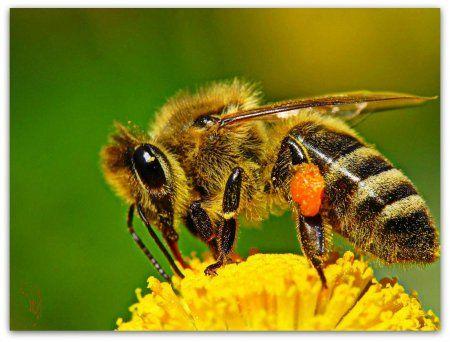 Ukrajinski stepa pčele rase