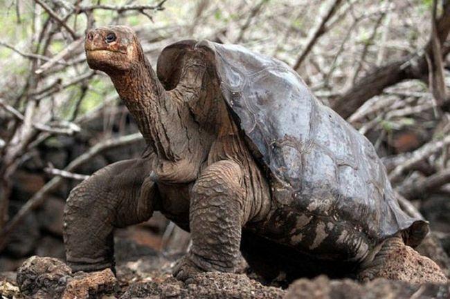 On je umro prošle Abingdonskaya Galápagos kornjača