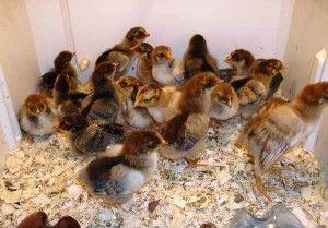 Выращивание цыплят кучинской породы