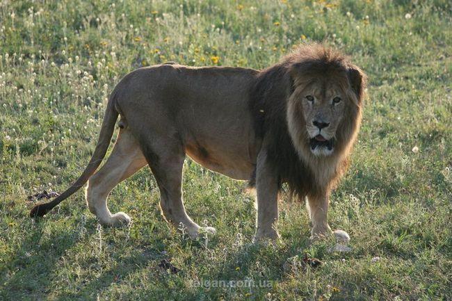 Jedinstvena lavovi park u Krim