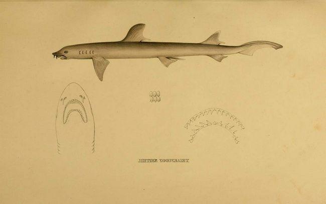 Несмотря на небольшой размер тела, усатая собачья акула - тот еще хищник.