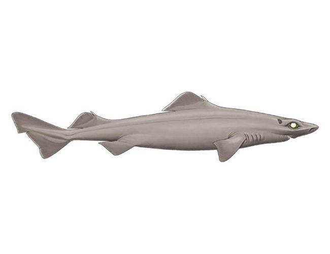Акула - живородящая рыба.
