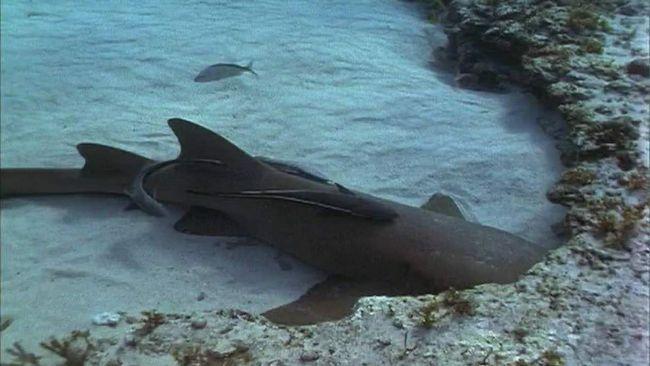 Собачья акула несомненно опасная, но при этом она еще и уязвима перед лицом человека.