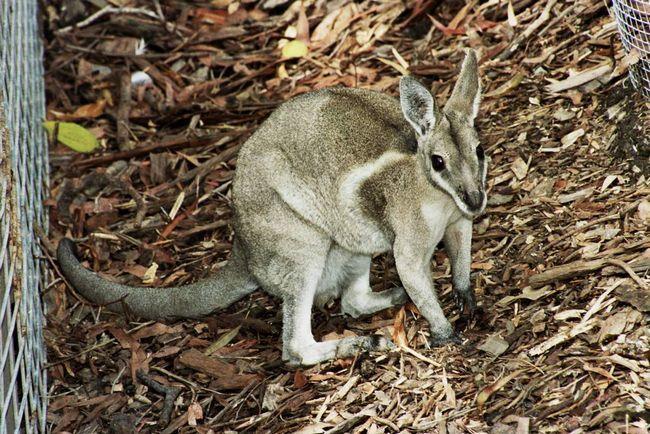Уздечный кенгуру (Onychogalea fraenata).