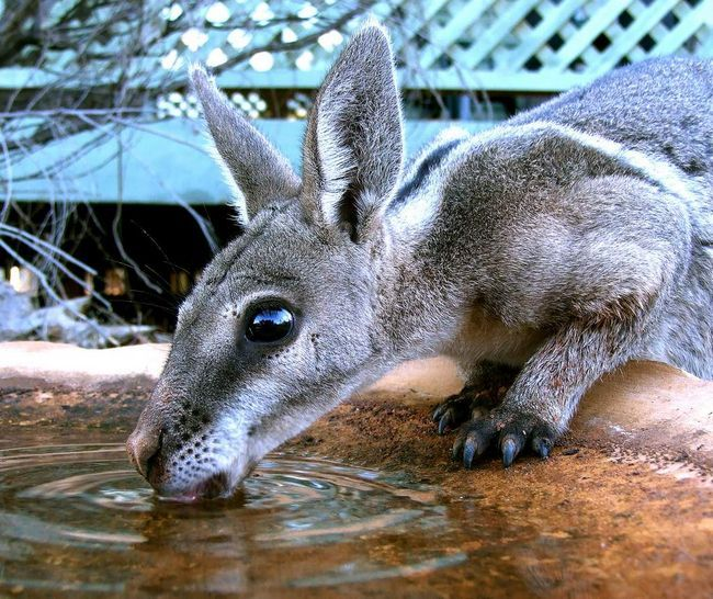 Эти кенгуру активны на рассвете или ночью.